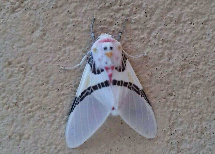 White Moth With A Chicken Face