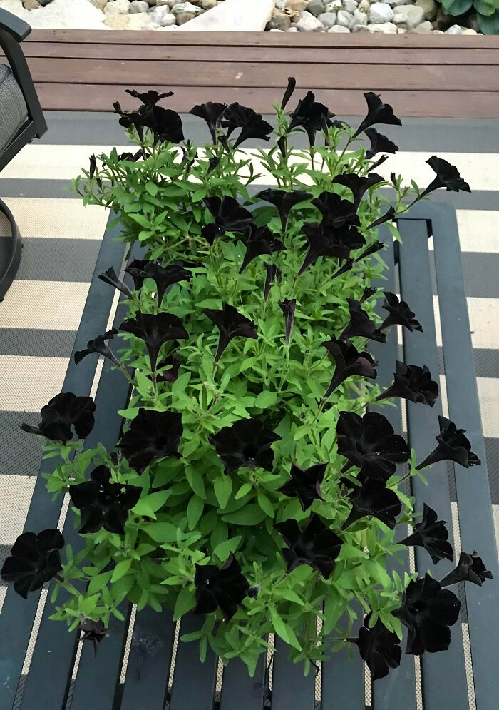 "My ""Black Magic"" Petunias From This Summer"