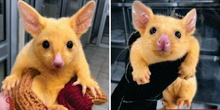 Australian Veterinary Clinic Rescues A Golden Possum. They Named Him Pikachu