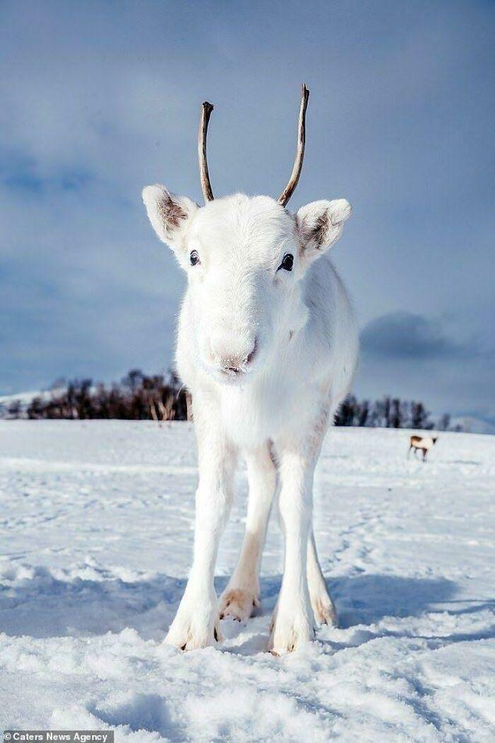 Cría de reno blanco, extremadamente raro