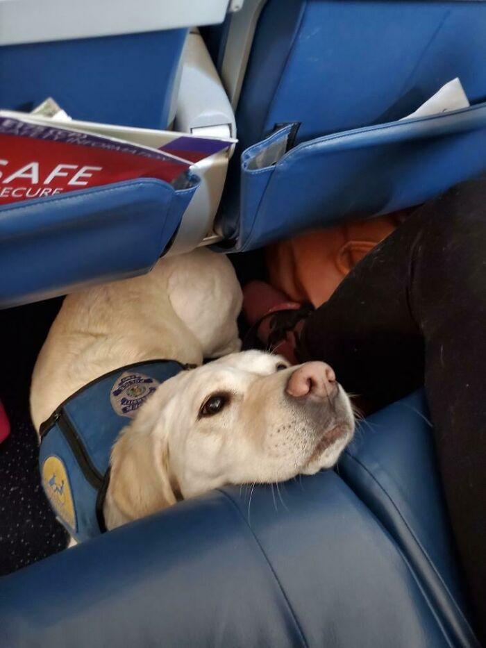 This Police Trauma Dog On My Wife's Flight Today