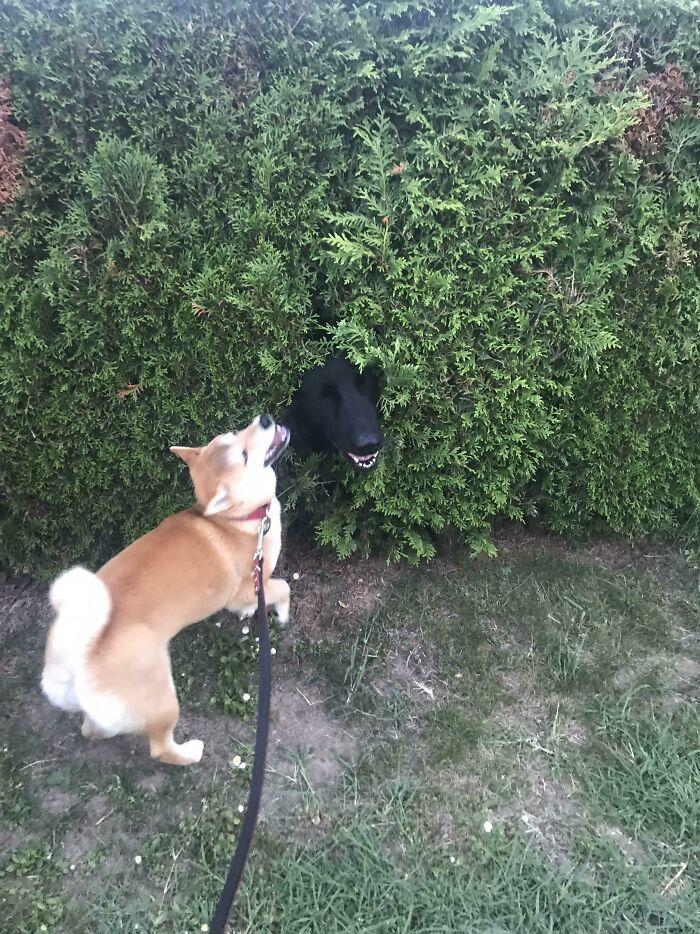 El mejor amigo de mi perro espiando a través del arbusto