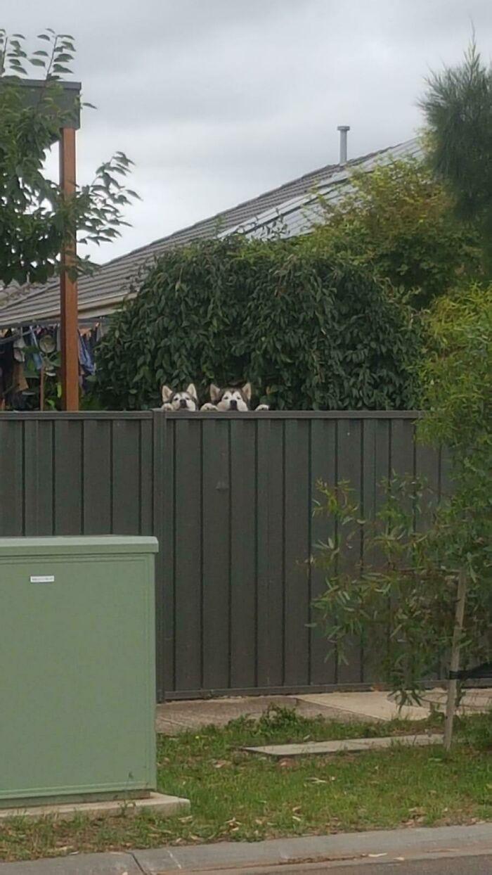 Asomándose por encima de la valla