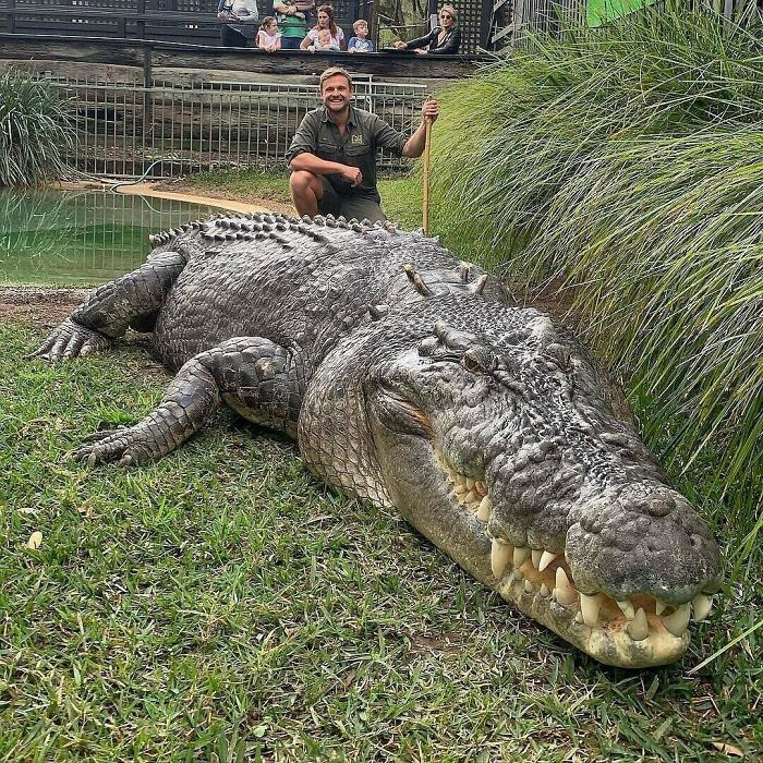 Elvis From Australian Reptile Park Is An Absolute Unit Of A Saltwater Crocodile