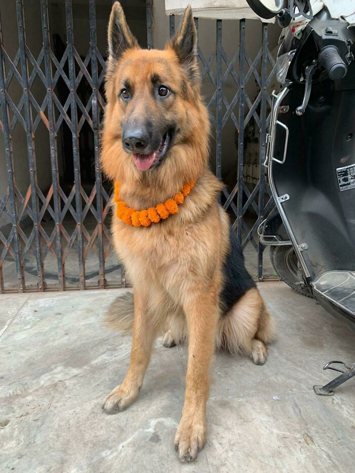 Everyone Say Hello To My Newly Adopted German Shepherd Tyson. Happiest Day Of My Life. In Our Culture, We Put A Flower Necklace As A Token Of Welcome