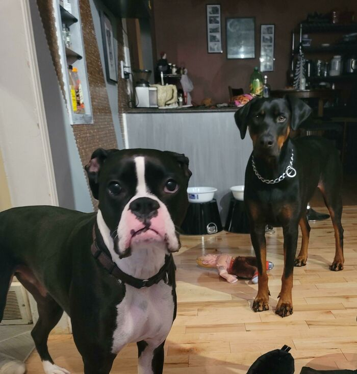 Rescued A 2 Year Old Doberman Today To Join My 3 Year Old Rescue Boxer. So Basically, Now I Have 2 Sets Of Disappointed Eyes That Would Like To Know Where I've Been And Why I Ever Thought It Was Ok To Leave The House!