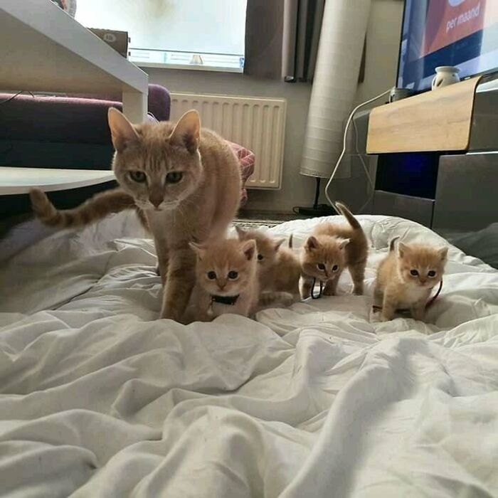 Mi gato Sampson y sus mini-leones
