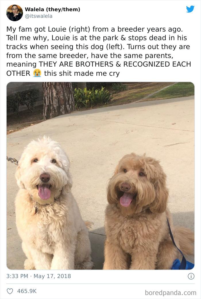 Mi familia compró a Louie (dcha) de un criadero hace años. En el parque, de repente, se quedó parado al ver a este otro perro (izda). Resulta que son del mismo criadero, tienen los mismos padres, SON HERMANOS y se reconocieron