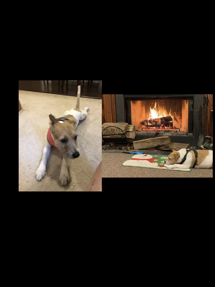 Fresh And Skinny From The Rescue Center, A Year Later Chillin By The Fire