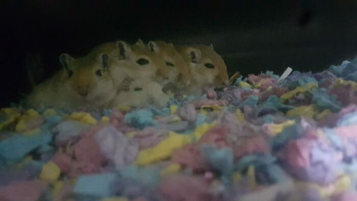 My Christmas Gerbils Lucifer, Fish, Chip, Bubble And Squeak