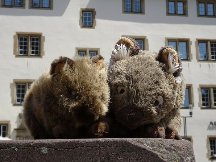 """Russell The Wombat Has Been My """"Best Friend"""" And Travel Companion For Many Years. Three Years Ago His Little Brother Billy Joe Arrived, And Since Then They Have Been Inseparable."""