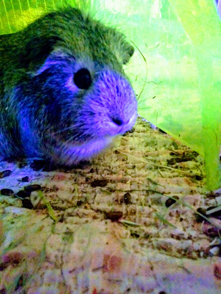 I'm Not Usually A Big Fan Of Photo Filters, But Who Doesn't Want A Green And Purple Guinea Pig? Here's Ruby Two Electric Boogaloo. You Can Call Her Boogie