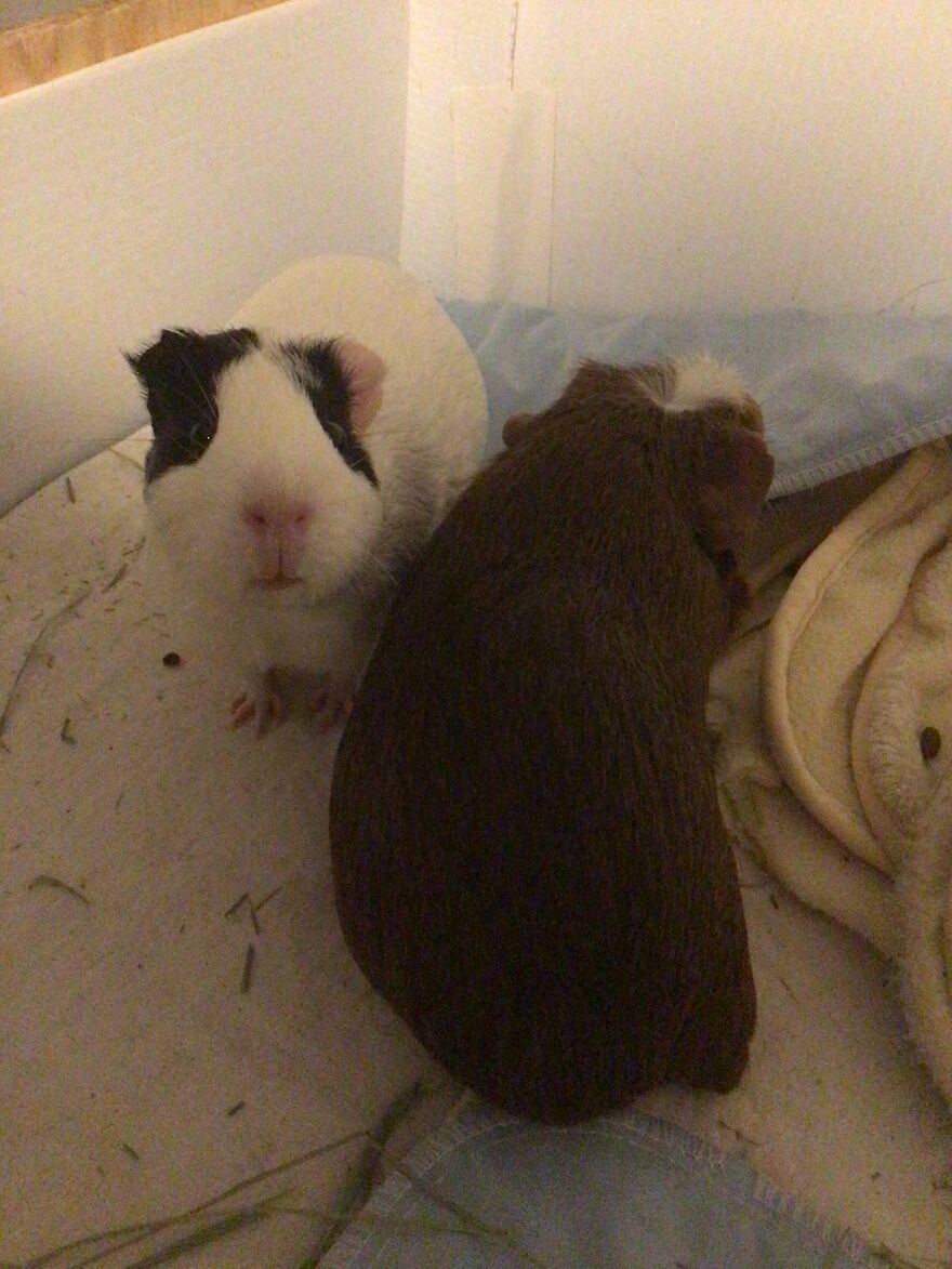 Don't Have Rats Or Mice But Here Are My Guinea Pigs. They're Rodents So I Think It's Safe To Post Them Here!