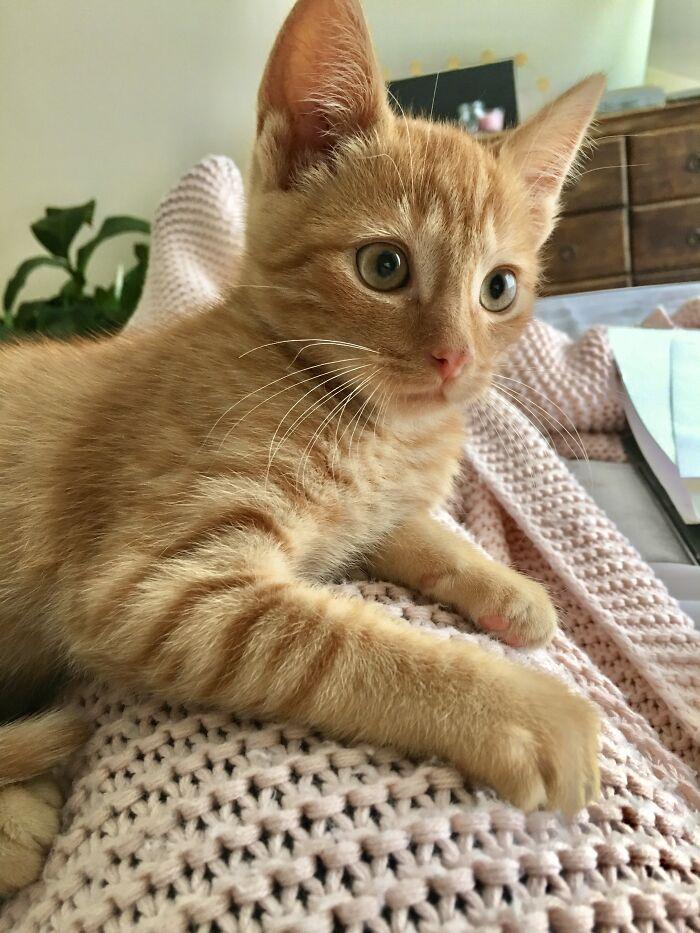 Freddy In His Best Shutterstock Dreamy Kitten Pose
