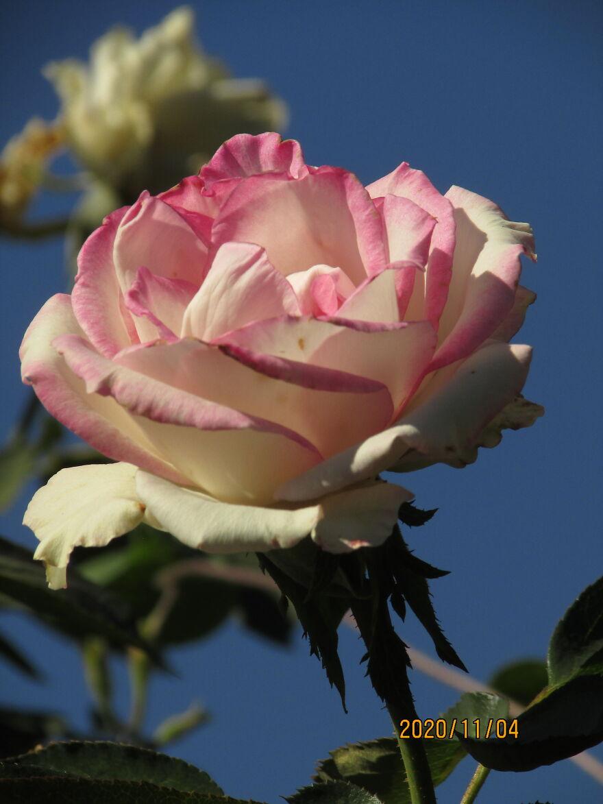 Rose Like In My Name