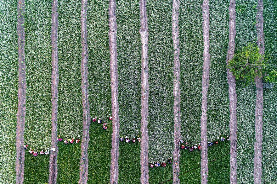 Women Harvesting Chamomile