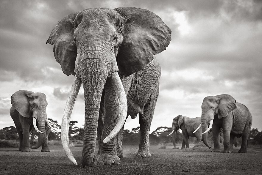 Colossal Shadows: Super Tuskers Of East Africa
