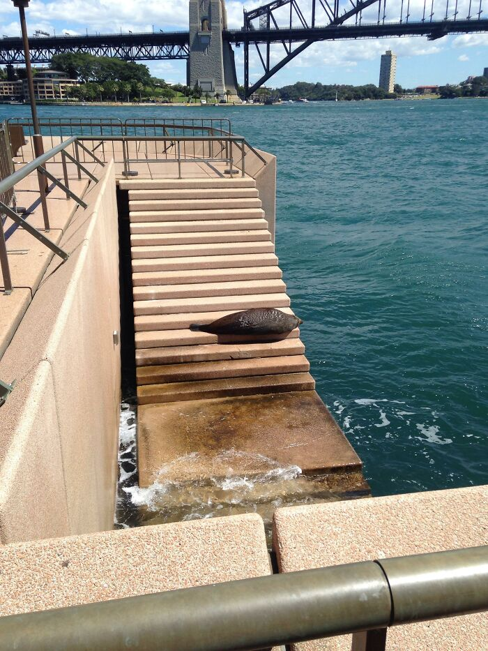 A Seal Chilling Outside Sydney Opera House