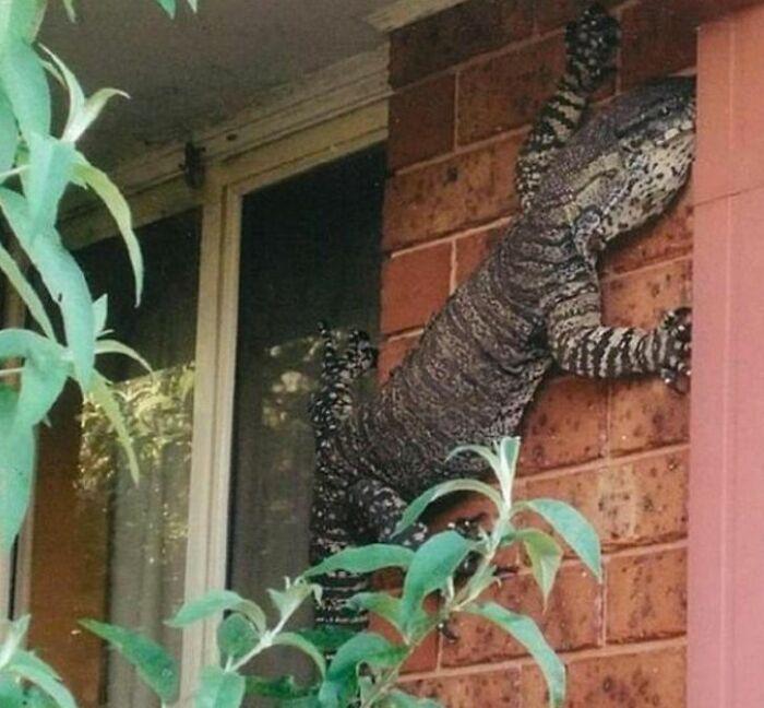 Lizards In Australia