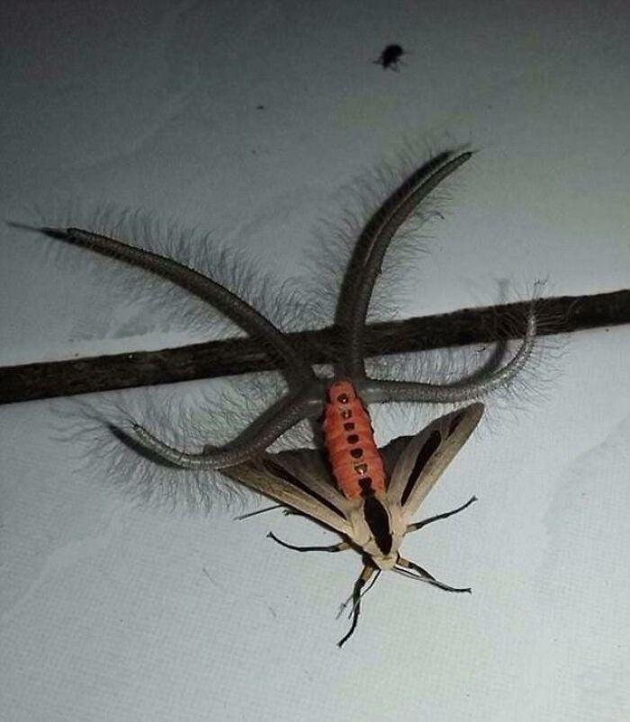 Australian Moth