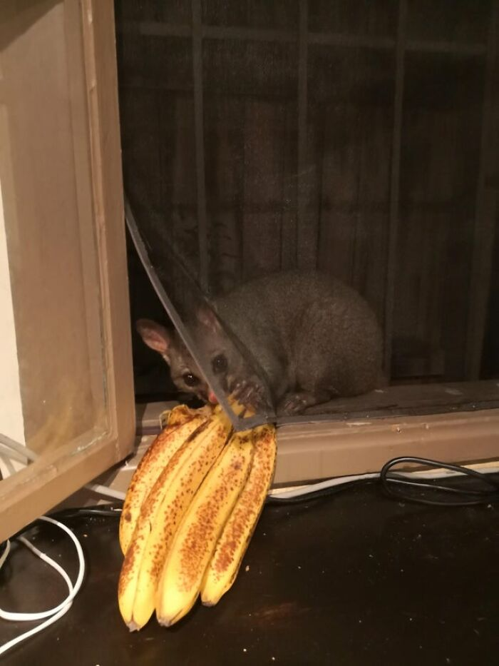 I See Your Possum Outside Your Window And Raise You Our Break And Enter Culprit Last Night