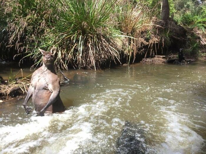 This Roo In A River