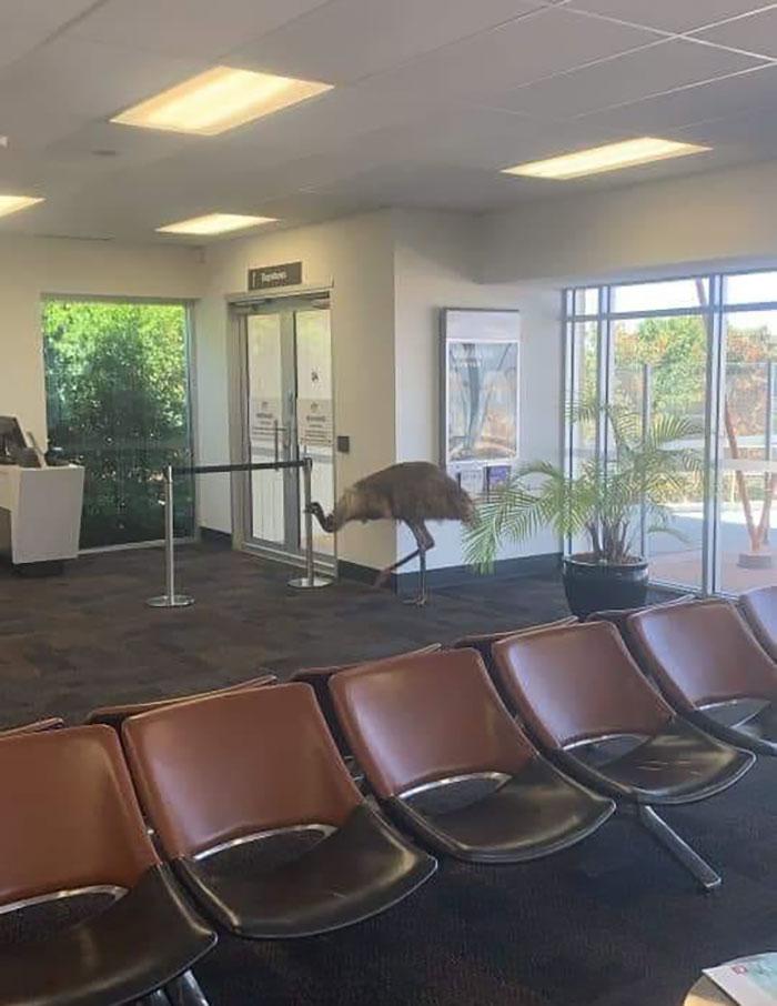 An Emu Just Cruising Around My Rural Towns Little Airport