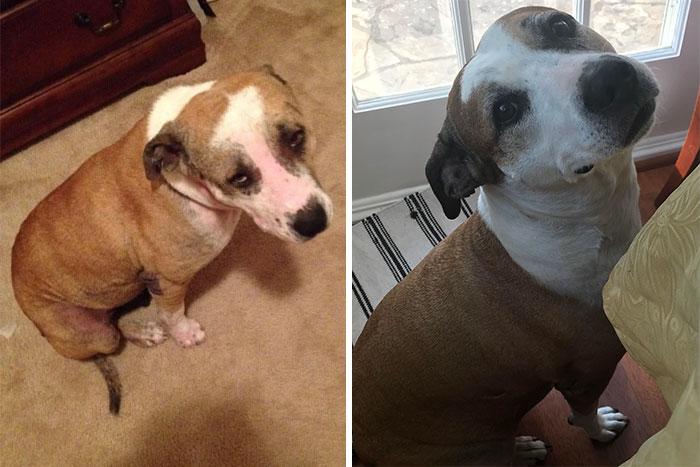 La tuvimos a los 2,5 años en acogida cuando era utilizada como perro de cebo, comiendo bridas, y tenía la cadera aplastada. ¡Tuvo un gran amigo (que murió el año pasado) y ahora es el mejor amigo de nuestro más reciente rescate Lindsie!