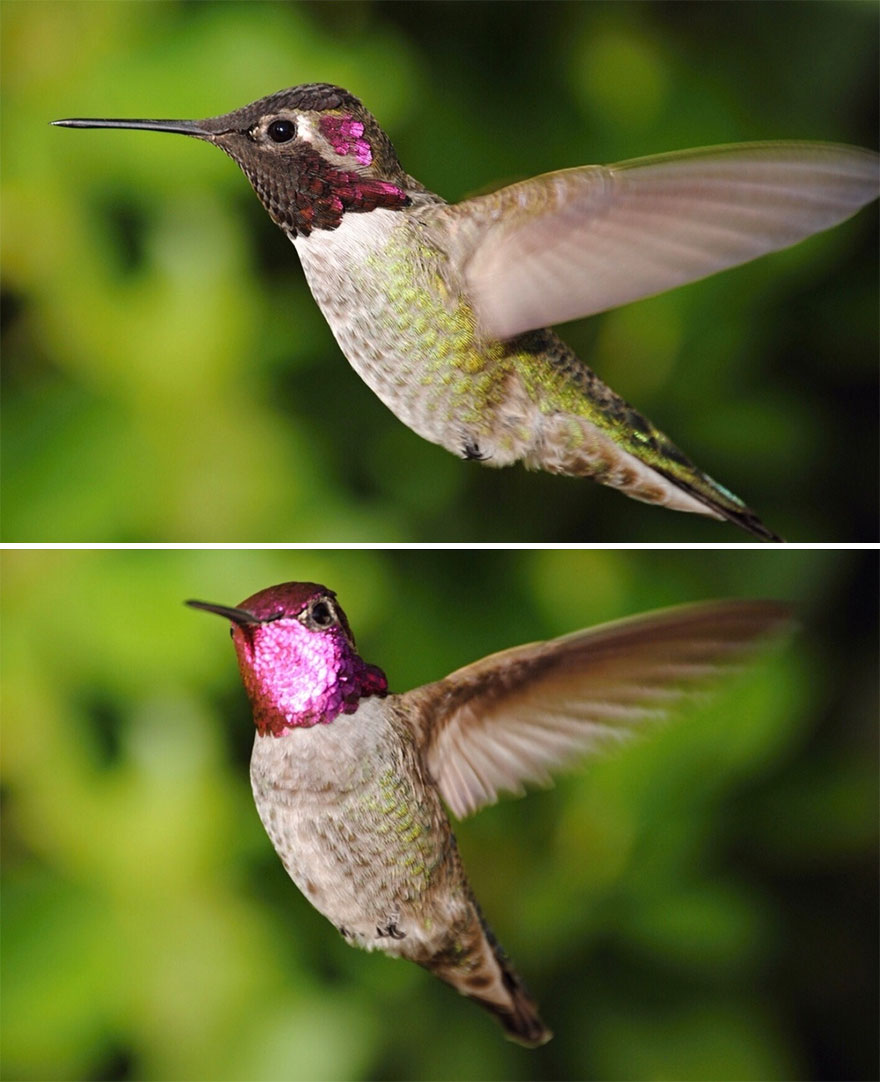 This Is A Male Anna's Hummingbird. I'm Honored That He Claims My Yard As His Domain. 01dec2020