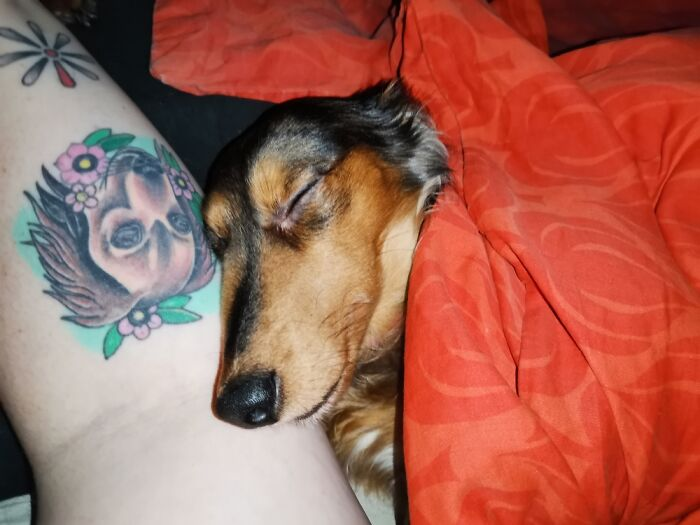 My Jelly Bean Sleeping Next To My Dachshund Tattoo