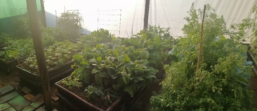 My Veggie Garden, Started In Lockdown. Still Eating From It & Donate Surplus To Others In Need