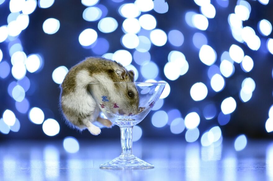 Toto The Hamster