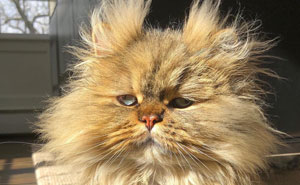 Barnaby The Pensive Persian Cat Always Looks Like He Didn't Have His Morning Coffee (52 Pics)
