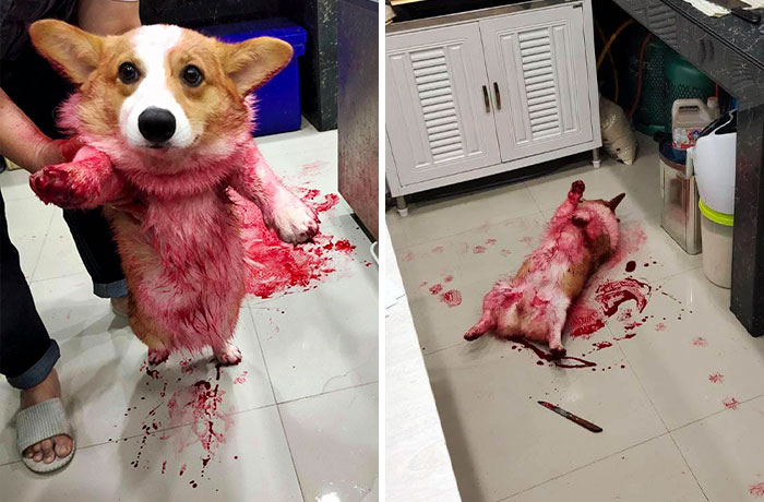 Corgi Gives His Owners And The Entire Internet A Mini Heart Attack After He Rolls Around In Red Syrup And Rests In The Mess