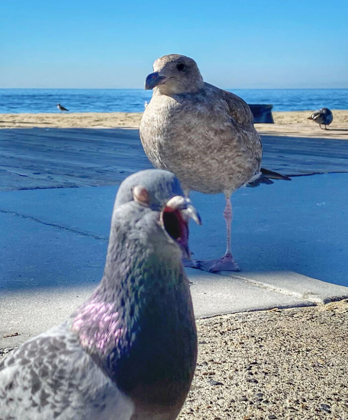 I Was Trying To Take A Picture Of This Juvenile Seagull And This Sleepy Pigeon Waddled In And Stole The Show