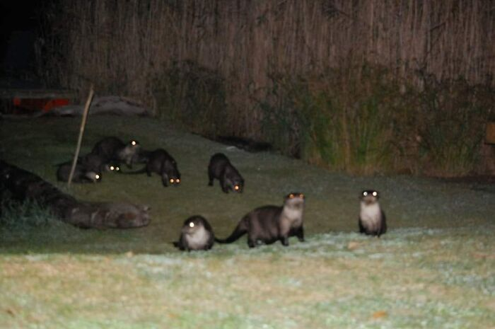 You Are Considered Lucky To See One Cape Clawlless Otter. Two Together At The Same Time Is Even More Unusual. Not Sure What It Means When Eight Demonic Ones Come And Visit You Out Of The Darkness