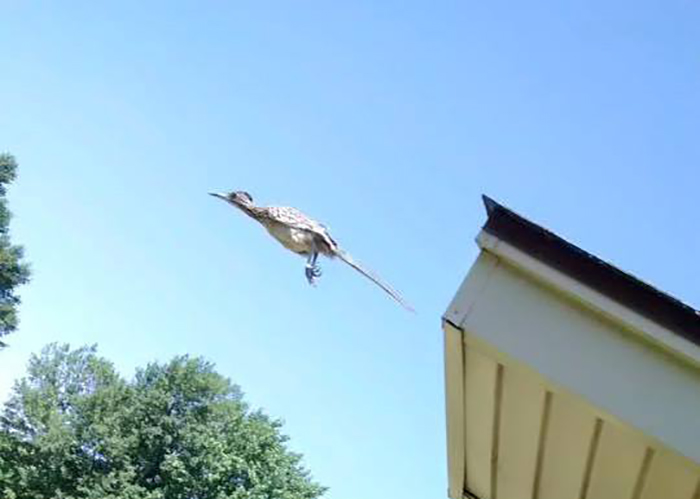 I Was Doing Some Yard Work When I Saw A Roadrunner Running Around On My Roof. I Grabbed My Phone To Take A Shot, But It Jumped Off Just As I Snapped