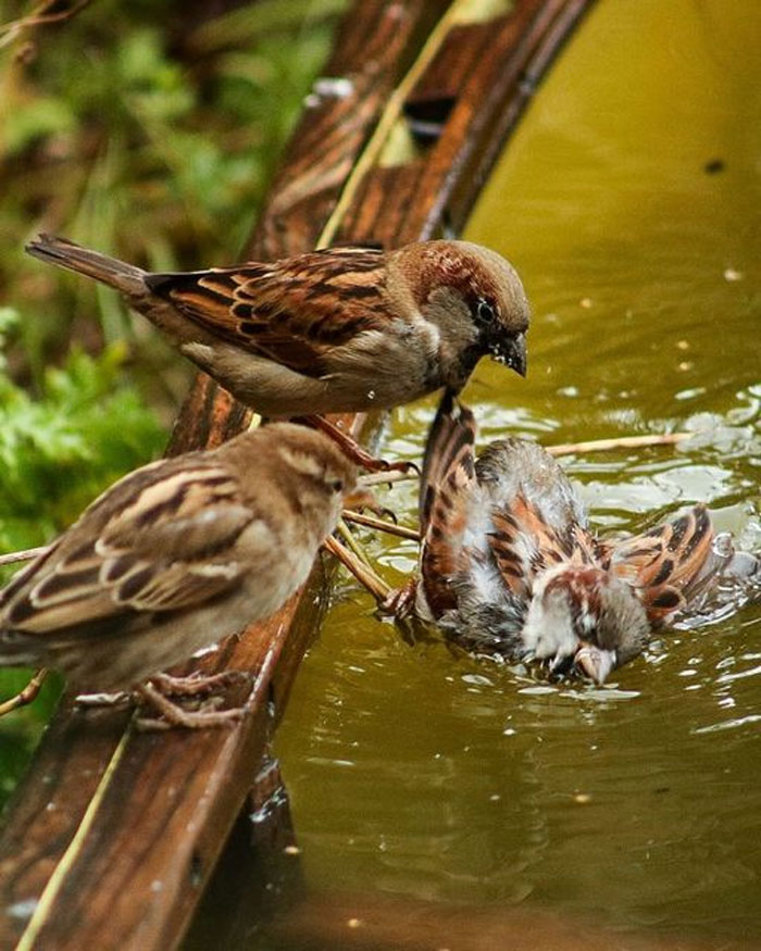 I Was Trying To Take A Sweet Photo Of A Sparrow Having A Bath. I Appear To Have Taken A Photo Of Two Sparrows Committing A Murder