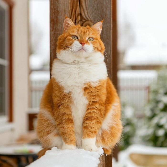 This Happy Chonk From Russia Loves Snow, And His Photos Are Adorable (27 Pics)