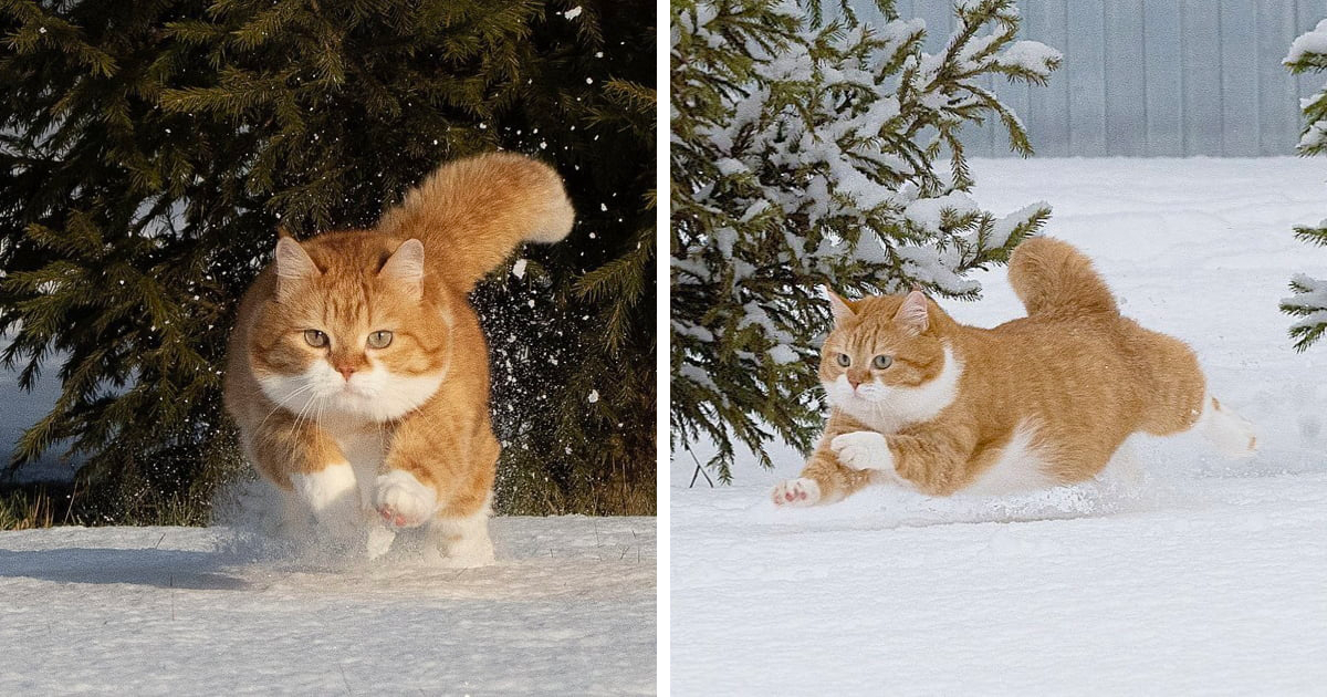 This Chonky Ginger Cat Loves Snow And The Photos Look Majestic (27 Pics)