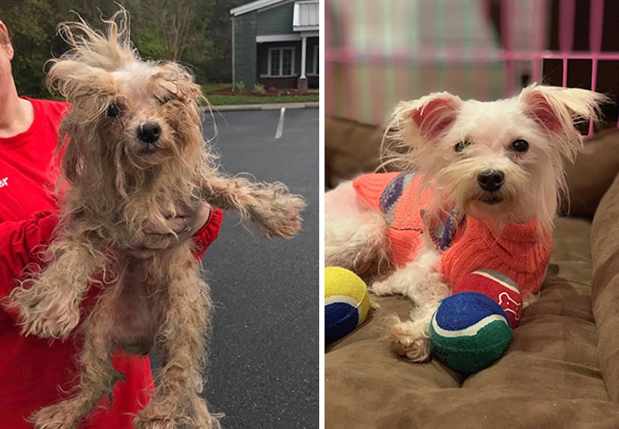 We Rescued A Maltese From A Puppy Mill In Georgia That Got Busted With Over 700 Dogs This Weekend. After 3 Hours Of Cutting Matted Hair And Bathing, Here Is Luna's Before And After