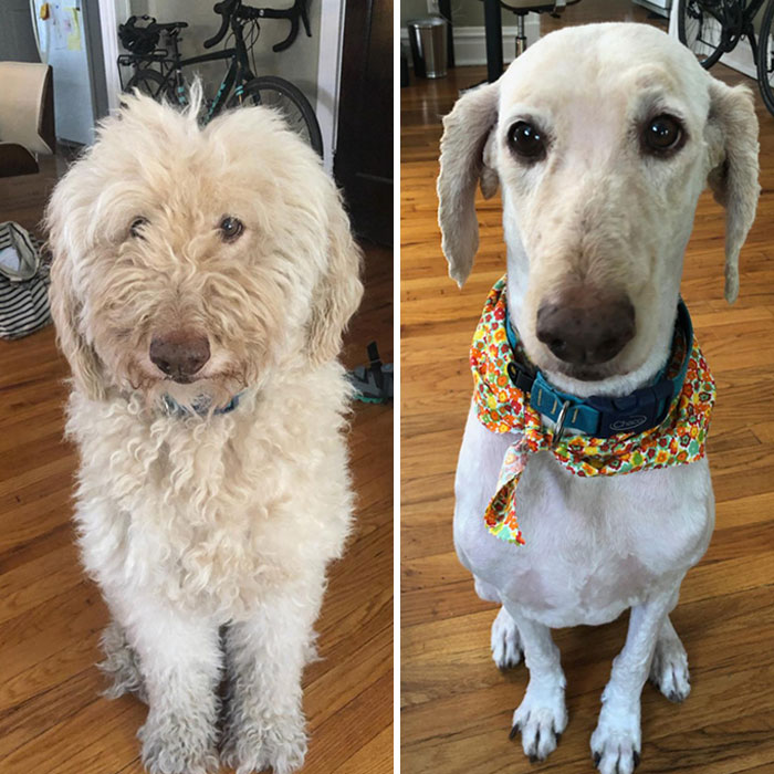 Our 9-Year-Old Goldendoodle Got Her First Grooming Since Quarantine. Our Other Dog Barked At Her When She Came Home