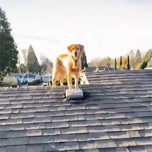 Guy Is Stunned To See His Golden Retriever On The Roof, Security Camera Reveals He Actually Climbed The Ladder