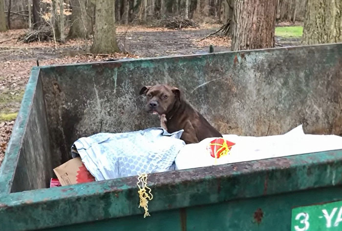 An Injured Pit Bull Was Rescued From The Dumpster After It Was Thrown Out Like Trash