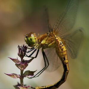 Draco's Dragonfly