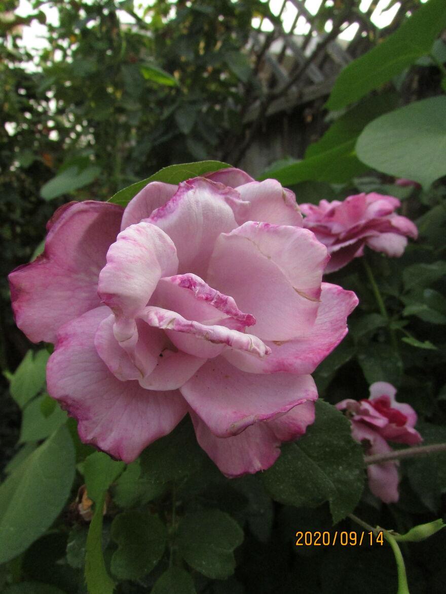 Fully Pink Rose