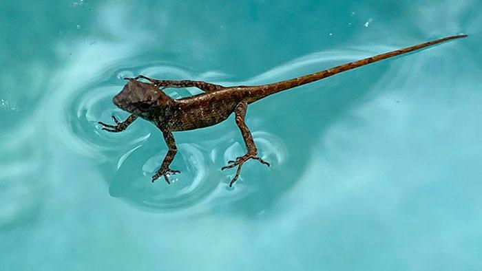 "Esta lagartija que encontré ""parada"" en el agua de mi piscina"