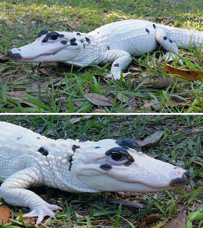 Cuando creías que lo habías visto todo, aquí tienes a Snowball (Bola de nieve), un caimán leucístico extremadamente raro