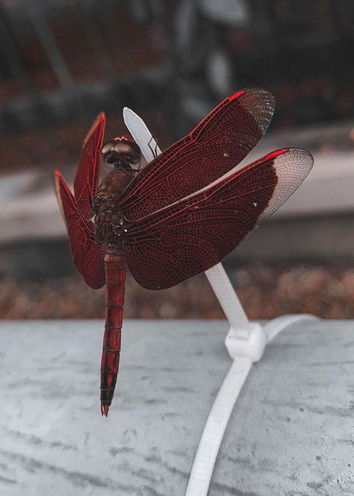 Este primer plano de una libélula que tomé con mi teléfono el otro día
