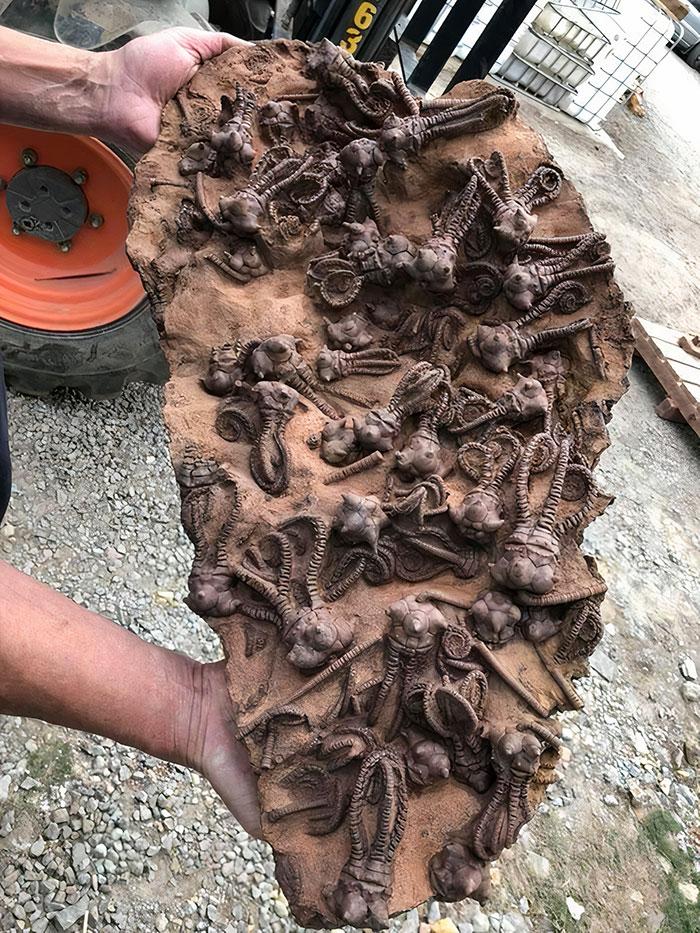 Asombrosos fósiles de Crinoides Jimbacrinus